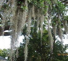 Spanish Moss in Old Mt. Pleasant by Rusty Gentry