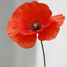 Red Poppy for REMEMBRANCE by AnnDixon