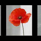 Poppy in Three by AnnDixon