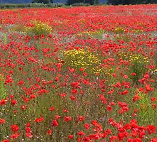 Another local poppy field by hjaynefoster