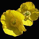 Yellow poppy by Photos - Pauline Wherrell