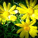 Daisies so bright by EdsMum