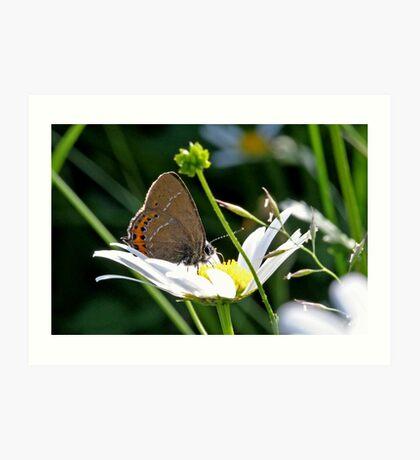 Black Hairstreak butterfly Art Print