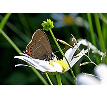 Black Hairstreak butterfly Photographic Print
