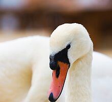 Abbotsbury Swannery by Elaine123