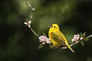 Yellow Warbler by Renee Dawson