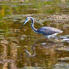 Tricolored Heron at Canaveral National Seashore by michaelBstone