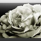 Blue rose in Mono by sarnia2