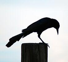 Crow @ Trimble Park N.W. Orange Co. FL by michaelBstone