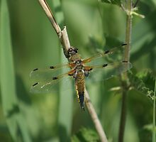 Yellow Dragon Fly by davesphotographics