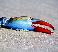 Beach Things - Blue Crab Claw by Paulette1021