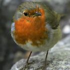 Christmas Robin 1 by Peter Barrett