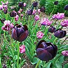Tulips Galore by DIANE  FIFIELD