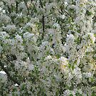 White Blossoms by Linda Miller Gesualdo