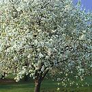 Apple Tree Dressed in White by Linda Miller Gesualdo