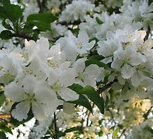 Apple Blossoms by Linda Miller Gesualdo