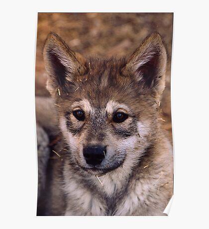 Alaskan Timber Wolf Cub Poster