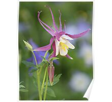 Close-up of the Violet Columbine Poster