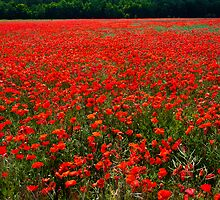 Poppy field - Chantilly, France by Michel-Philippe Lehaire