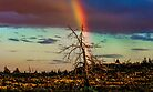 Rainbows-n-old Juniper by Richard Bozarth