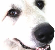 Great Pyrenees by Gothamwood