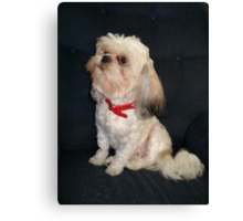The Red Collar Canvas Print