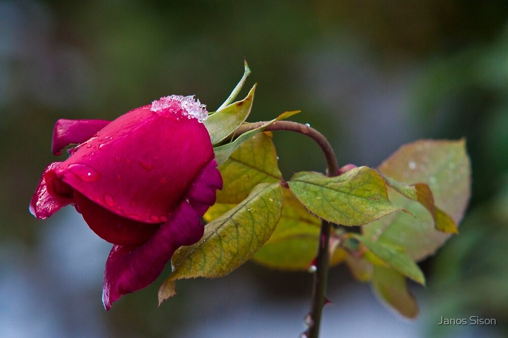 icy rose by Janos Sison