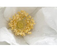 Silent heart meditation - white rose  Photographic Print
