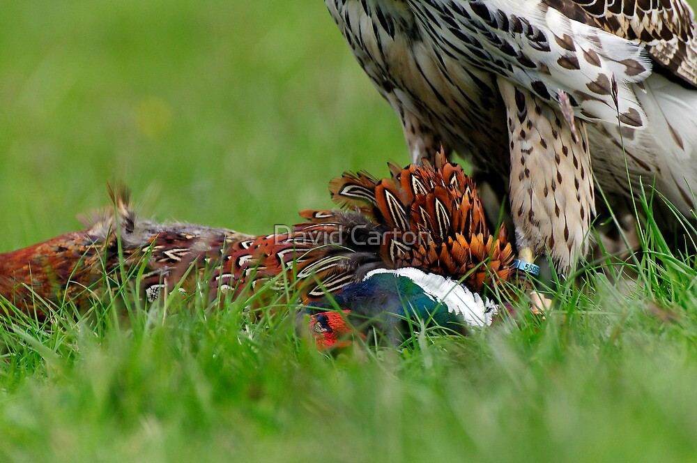 Close up of Goshawk and Prey by buttonpresser