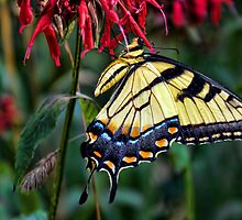 Late Afternoon Visit With Yellow Butterfly on Bee-Balm by Melinda Stewart Page