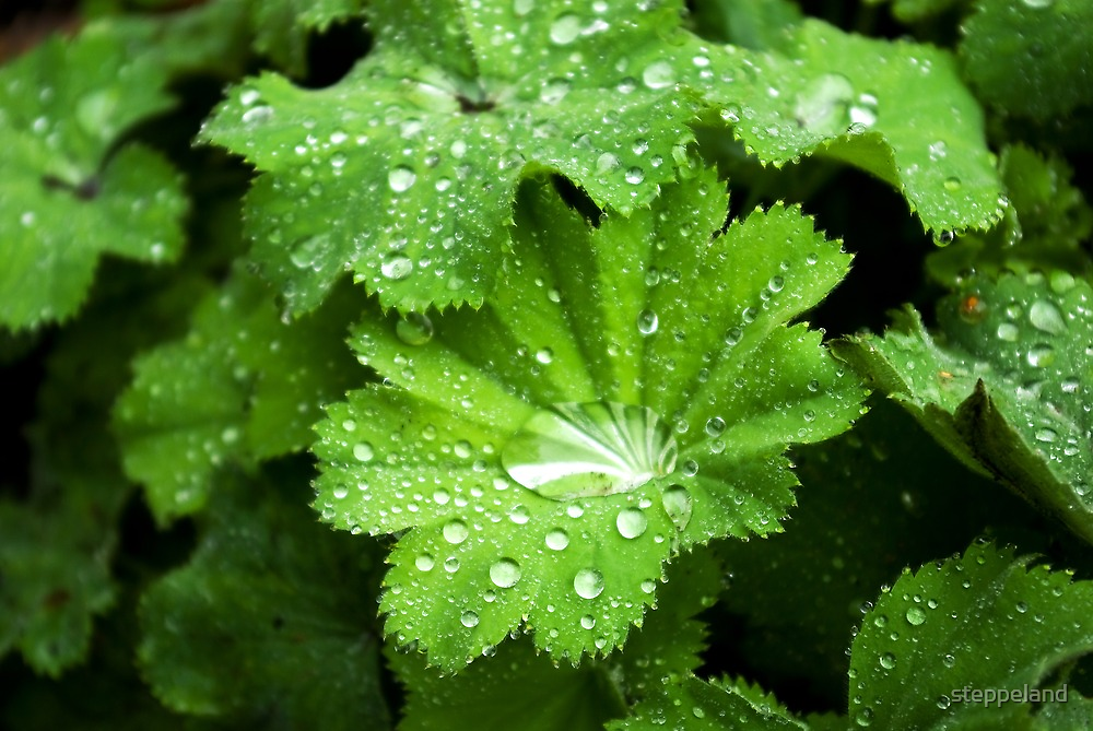 Lady's Mantle - bejeweled by steppeland
