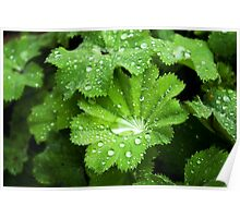 Lady's Mantle - bejeweled Poster