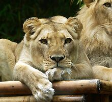 Lioness waiting by theorangeraven