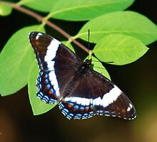 White Admiral Butterfly by Christina Rollo