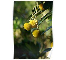 Native Fruit Poster