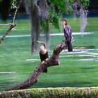 Anhingas at Rest by Judy Wanamaker