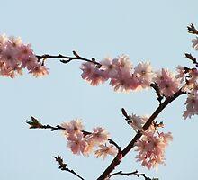 Cherry Blossom by biskh