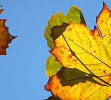 Katoomba Leaves by Helena Bolle