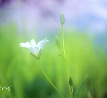 Little white by aMOONy