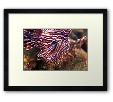 Scorpionfish - Beautiful but deadly (Lionfish) Framed Print