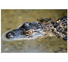 American Alligator Baby Photographic Print
