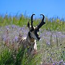 Antelope buck by amontanaview