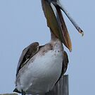 Another Brown Pelican by Regenia Brabham