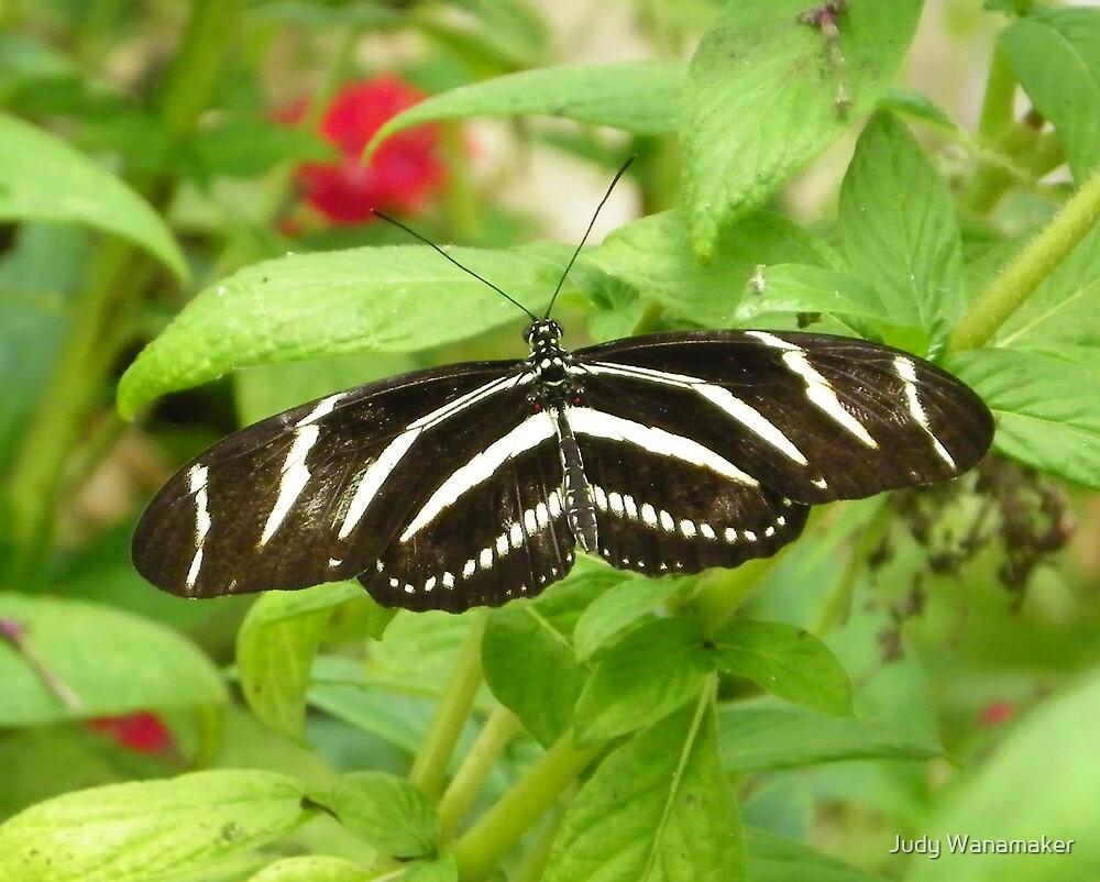 Zebra Longwing by Judy Wanamaker