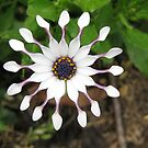 White flower at Powys Castle by Andy Newham