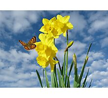 Copper Butterfly with Daffodils  Photographic Print