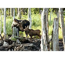 Bull Moose & Baby Moose Photographic Print