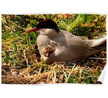 Arctic Tern & Chick - Inner Farne Island, UK Poster