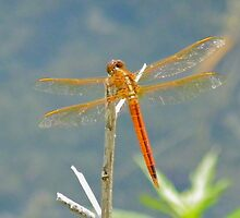 Orange Dragon Fly by Caren