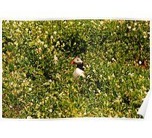 Puffin Amongst the Sea Campion - Farne Island, UK Poster